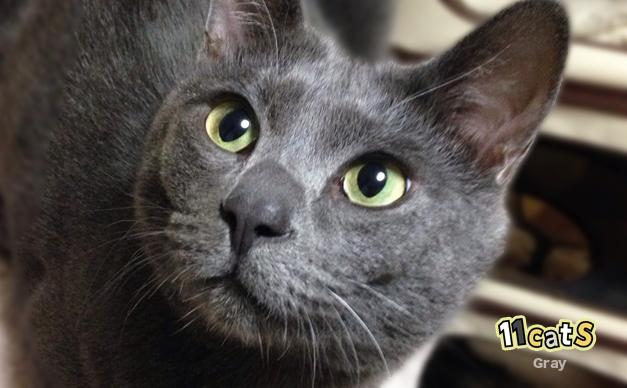 見上げる猫(11Cats グレイ)