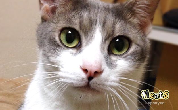 大きくヒゲを開いた猫(11Cats レパニャン)