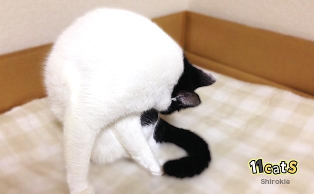 毛づくろいをする猫(11Cats シロキー)