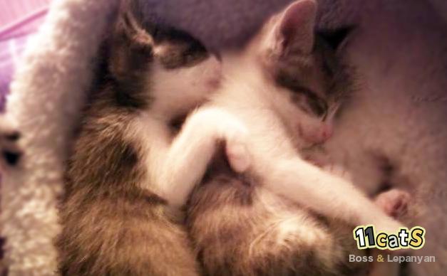 並んで眠る 子猫の兄弟(11Cats ボスとレパニャン)