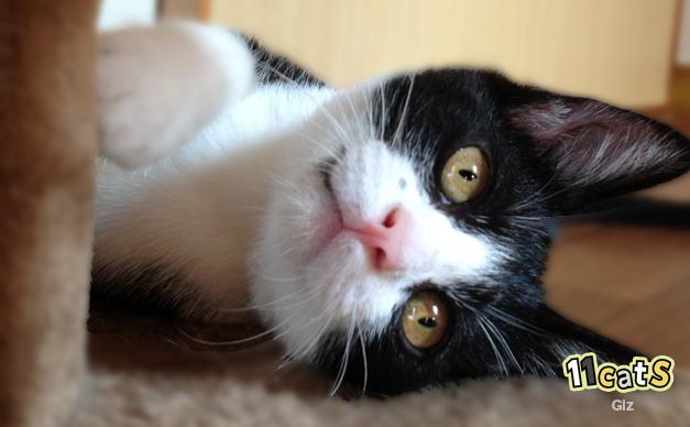 寝転がりながら甘える猫(11Cats ギズ)