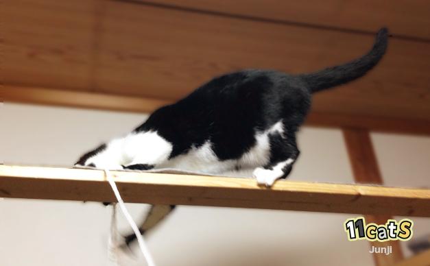 高いところでもしっぽでバランスをとる猫(11Cats ジュンジ)