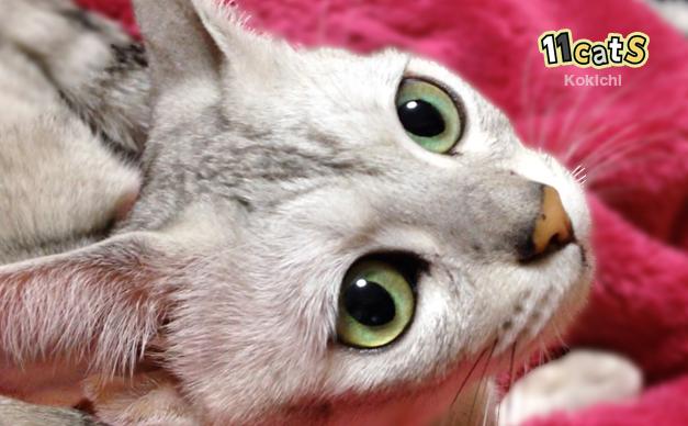こちらを見上げる猫(11Cats コキチ)