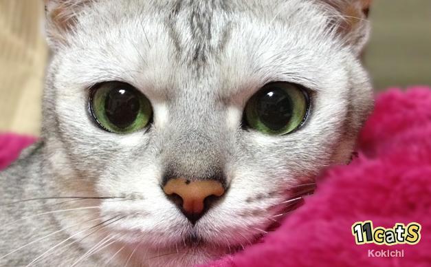 猫のどアップ(11Cats コキチ)