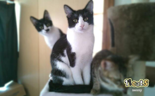 しっぽを足に巻きつける猫(11Cats セッシー)