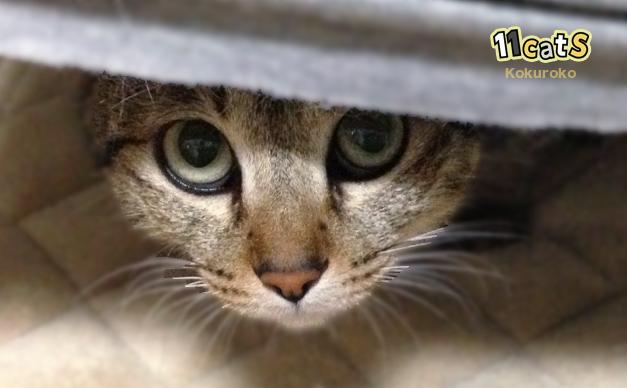 警戒する猫(11Cats コクロコ)