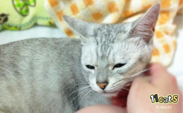 顎を撫でられ、気持ちよさそうにする猫(11Cats コキチ)