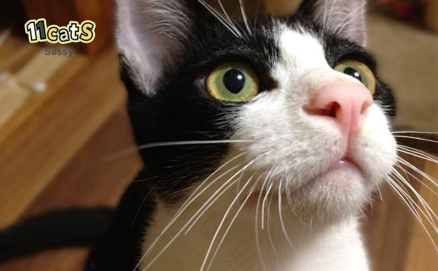 天井を見つめてひげを動かす猫(11Cats セッシー)