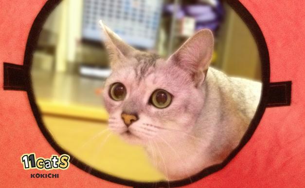 お気に入りのおもちゃから顔をのぞかせる猫(11Cats コキチ)