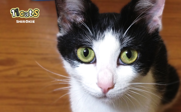 こちらを見つめる猫(11Cats シロキー)