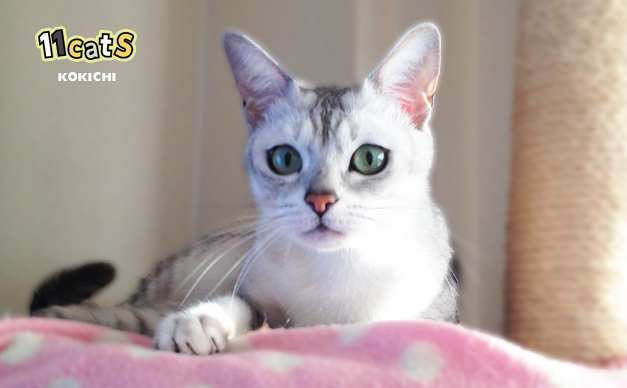 キャットタワーでくつろぐ猫(11Cats コキチ)