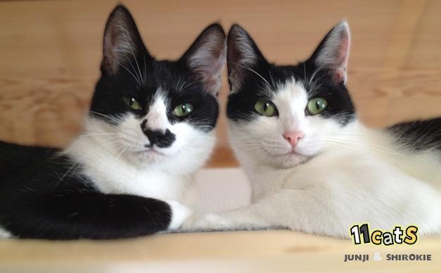 並んでこちらを向く猫の親子(11Cats シロキーとジュンジ)
