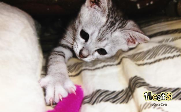 猫じゃらしで遊ぶ子猫(11Cats コキチ)