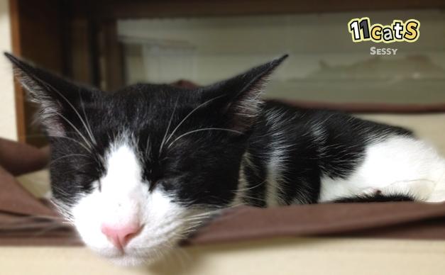 耳を横へ寝かせて眠る猫(11Cats セッシー)