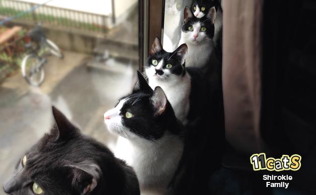 窓の外を見る猫の家族(11Cats シロキーファミリー)