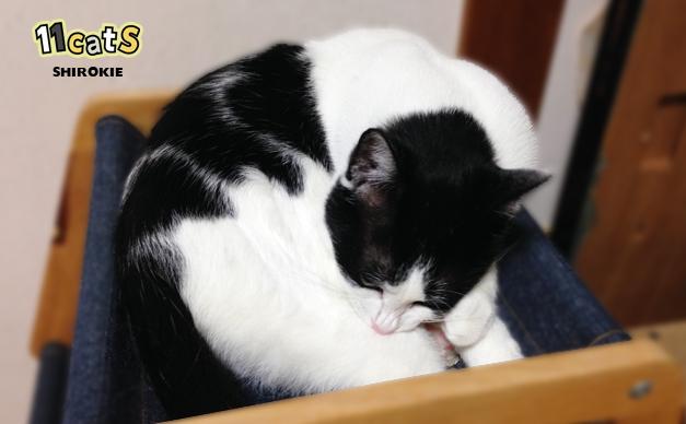 過剰な毛づくろいをする猫(11Cats シロキー)