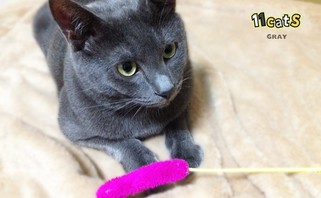 ショッキングピンクのおもちゃを持ってきた猫(11Cats グレイ)