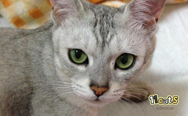 こちらの顔を見上げる猫(11Cats コキチ)