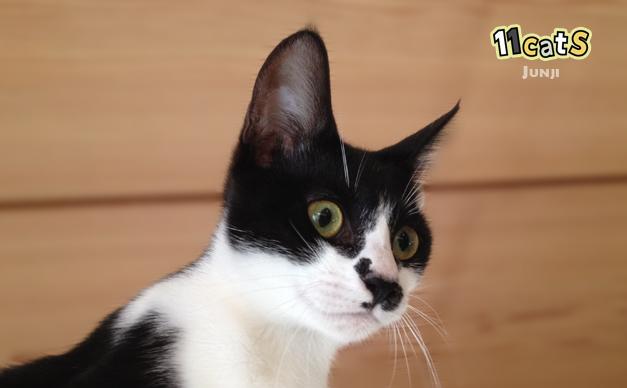 耳を前へ向けてピンっと立てる猫(11Cats ジュンジ)