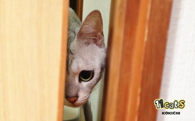 ドアのすきまからこちらの様子を伺う猫(11Cats コキチ)