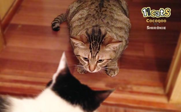 耳を後ろへ向けて寝かせる猫(11Cats ココクー)