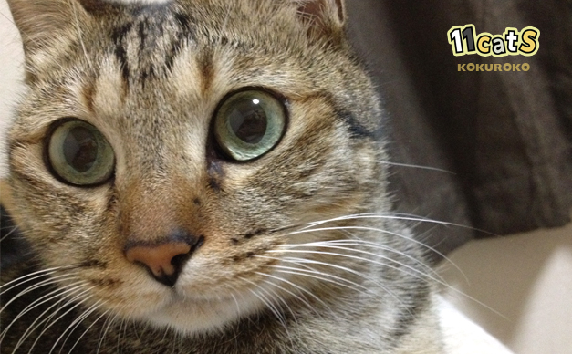 目をそらす猫(11Cats コクロコ)