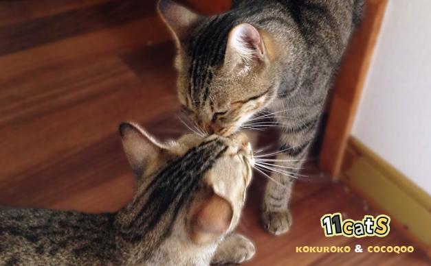 匂いを嗅ぎあう猫の親子(11Cats コクロコとココクー)