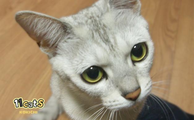 膝の上に登ろうとする猫(11Cats コキチ)