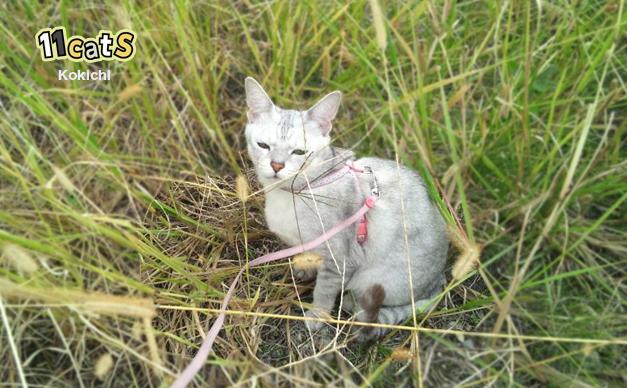 さんぽをする猫(11Cats コキチ)