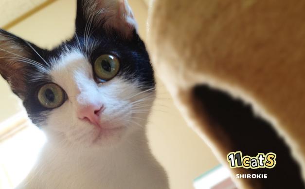 何かを見つけた猫(11Cats シロキー)