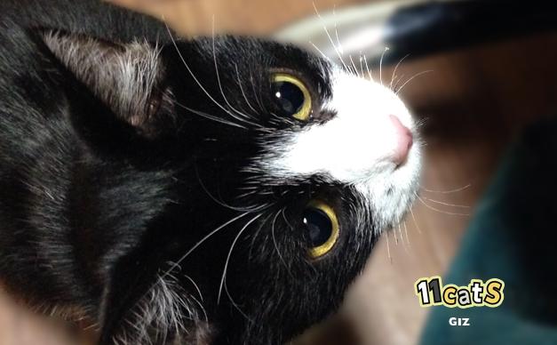 撫でて欲しい猫(11Cats ギズ)