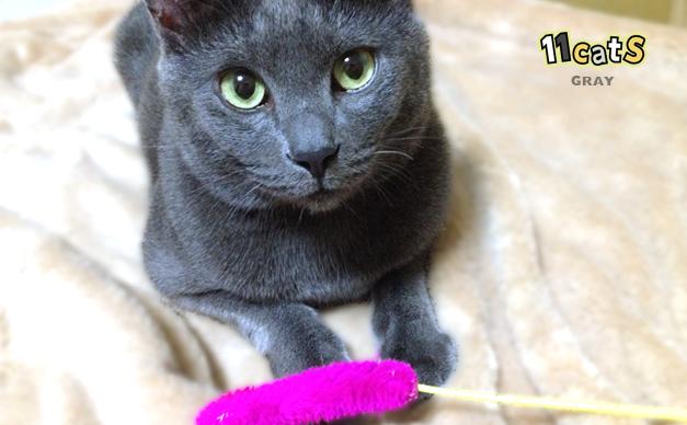 おもちゃを持ってきた猫(11Cats グレイ)