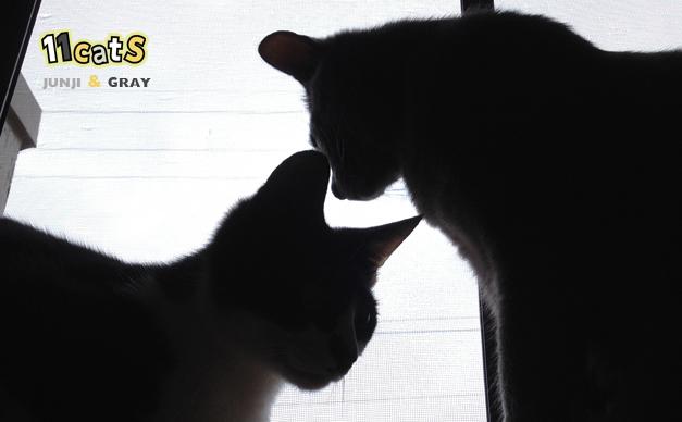 雨の日の窓の外を眺める2匹の猫(11Cats ジュンジとグレイ)