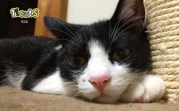ふてくされて寝る猫(11Cats ギズ)