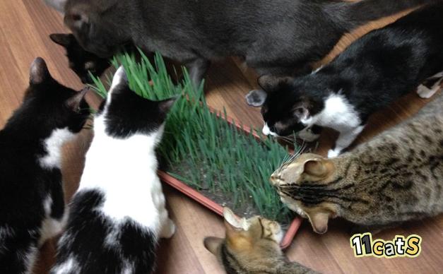 猫草に群がる猫(11Cats)