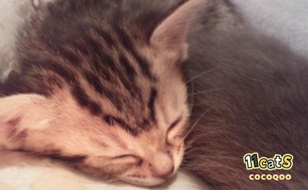 毛布に包まれて眠る子猫(11Catsココクー)