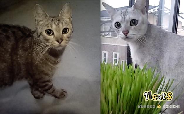 そっくりな猫の比較画像(11Cats クロコ&コキチ)