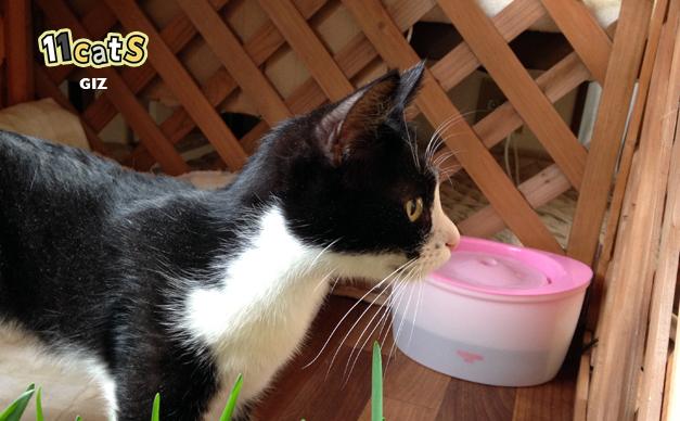 水を飲みにきた猫(11Cats ギズ)