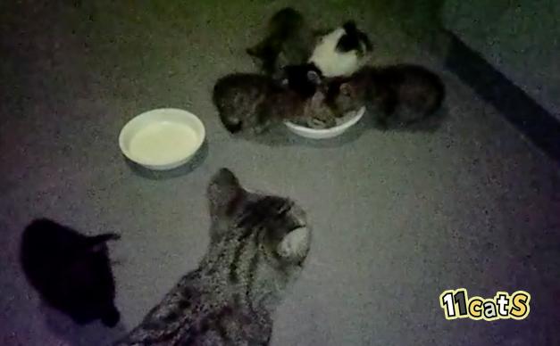ミルクに群がる野良猫の親子