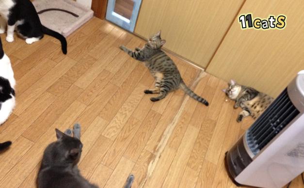扇風機に集まる猫(11Cats)