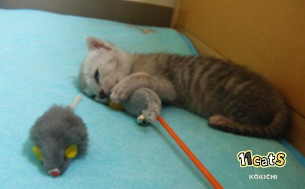 おもちゃと一緒に眠る子猫(11Cats コキチ)