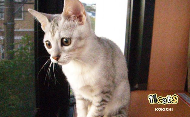 窓の外を眺める子猫(11Cats コキチ)