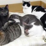 【猫の種類】日本に多い『柄・模様ランキング』トップ10