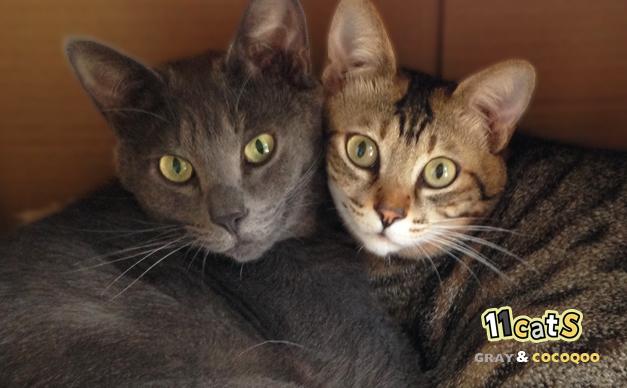 仲良く寄り添う2匹の猫画像(11Cats グレイ&ココクー)