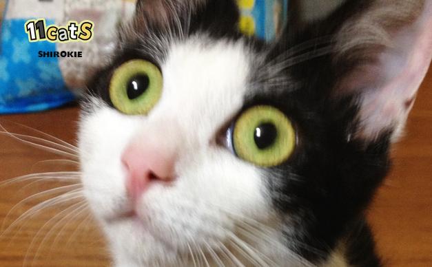 驚く猫の画像(11Cats シロキー)