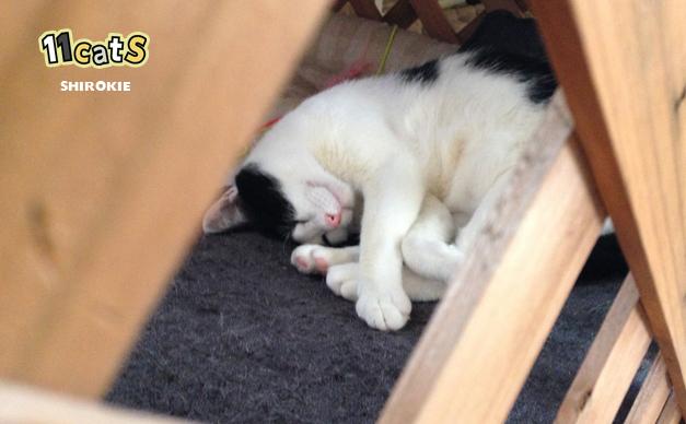 隠れて眠る猫の画像(11Cats シロキー)