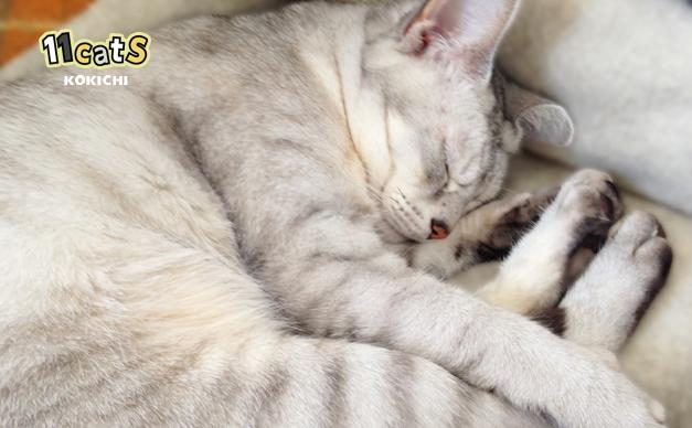 自分のベッドで眠る猫(11Cats コキチ)