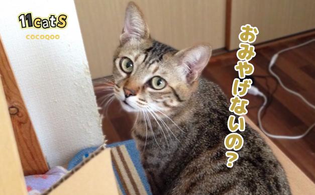 お土産を求める猫の画像(11Cats ココクー)