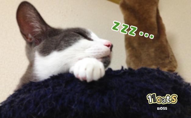 爆睡している猫の画像(11Cats ボス)