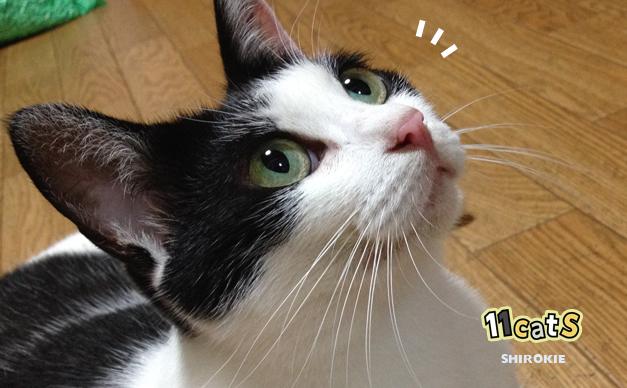 何かに気づく猫の画像(11Cats シロキー)